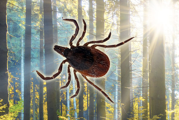 Ticks And Lyme Disease